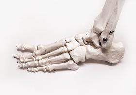 Макет скелета стопы 2